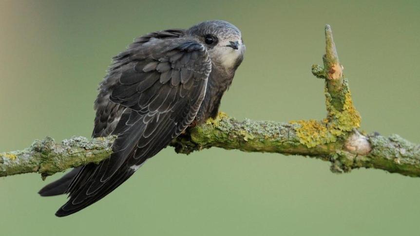 ptak-jerzyk, siedzący na gałęzi
